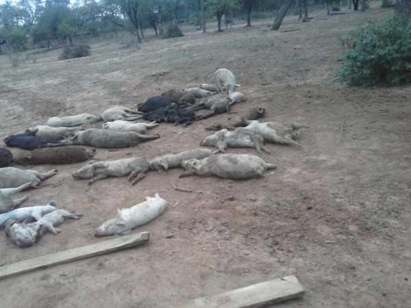 Cerdos que murieron producto del envenenamiento. (Foto: El Chaqueño)