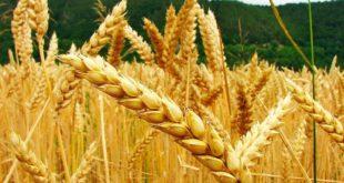 INIAF INTERCAMBIA EXPERIENCIAS CON AGRICULTORES SOBRE LA PRODUCCIÓN DE TRIGO