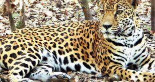 Tráfico de colmillos a China amenaza al jaguar boliviano