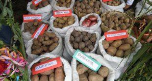 Tarija se consagra segundo productor de semilla de papa con el apoyo del Gobierno
