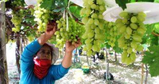Productores de uva advierten con denunciar a quienes hacen campaña contra su sector