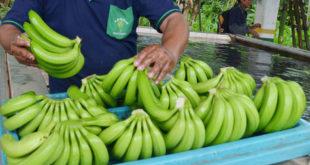 Exportación de banano alcanza $us 39 millones